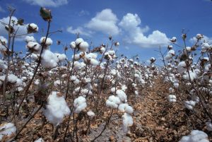 peruvian_pima_cotton